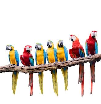 Menge des roten und blauen gelben macaw
