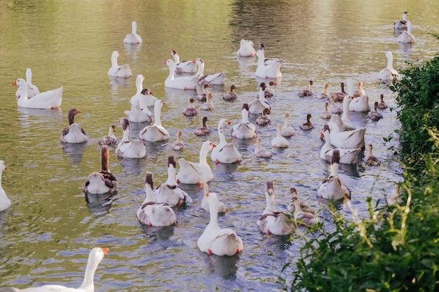 Menge von den wildenten, die auf fluss schwimmen. tierwelt im frühjahr. familie mit babyenten