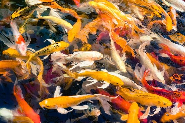 Menge von koi-fischen im teich