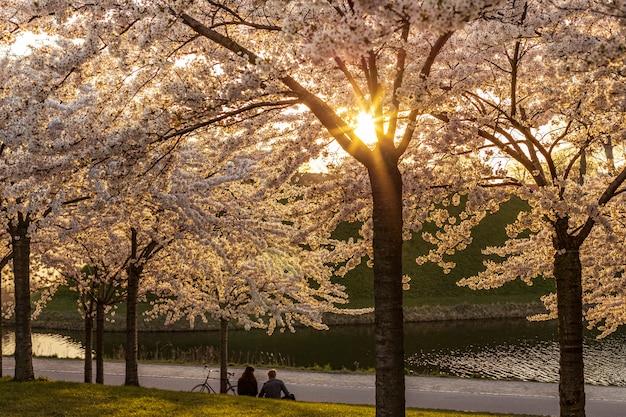 Menschen, die unter kirschblütenbäumen im stadtpark abkühlen