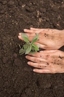 Menschliche hand, die frische junge anlage in boden pflanzt
