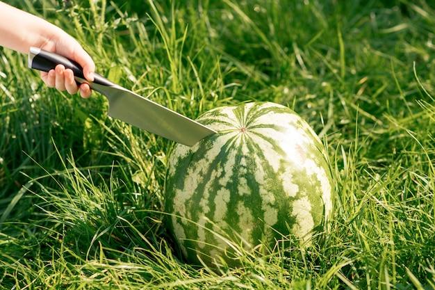 Menschliche hand mit einem küchenmesser beginnt eine ganze wassermelone zu schneiden.
