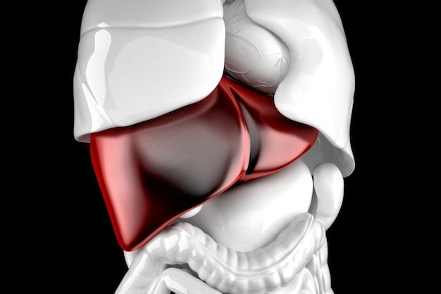 Menschliche leber. anatomische 3d-darstellung. enthält beschneidungspfad.