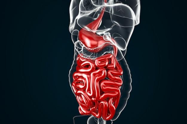 Menschliche verdauungssystem-anatomie
