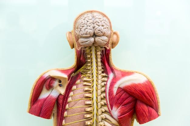 Menschlicher körper, gehirn, skelett und muskel