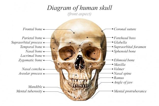 Menschlicher schädel diagramm