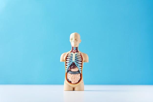 Menschliches anatomiemannequin mit inneren organen auf blau