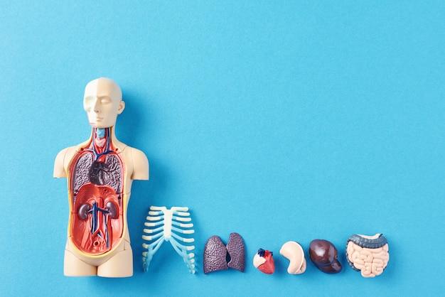 Menschliches anatomiemannequin mit inneren organen auf einer blauen oberfläche