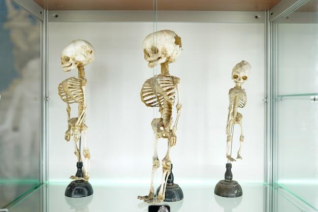 Menschliches medizinisches skelett der kinder auf weißem hintergrund