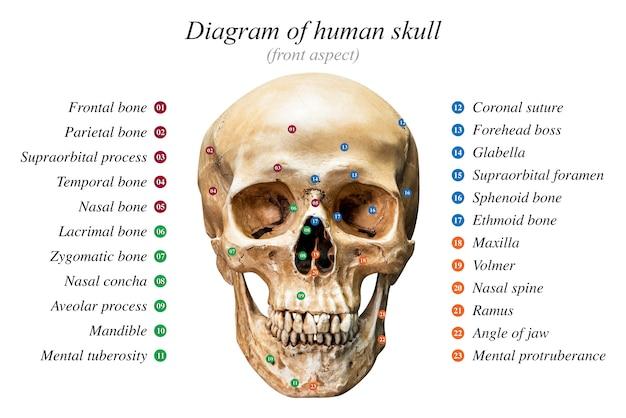 Menschliches schädeldiagramm