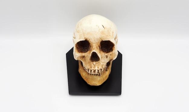 Menschliches schädelkopfmodell aus harzplastik und weißem hintergrund.