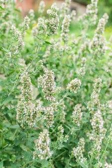 Mentha, minzstrauch mit blüten, aromatische mehrjährige kräuter