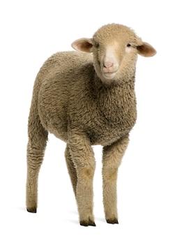 Merino lamm, porträt,
