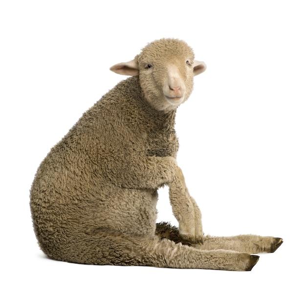 Merino lamm, sitzend