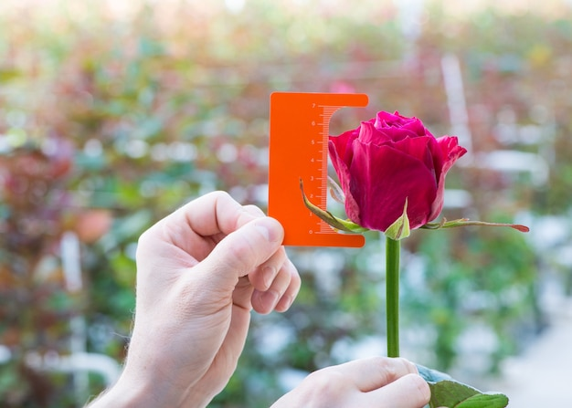Messung mit einem lineal einer knospe einer rosenblüte auf unscharfem hintergrund