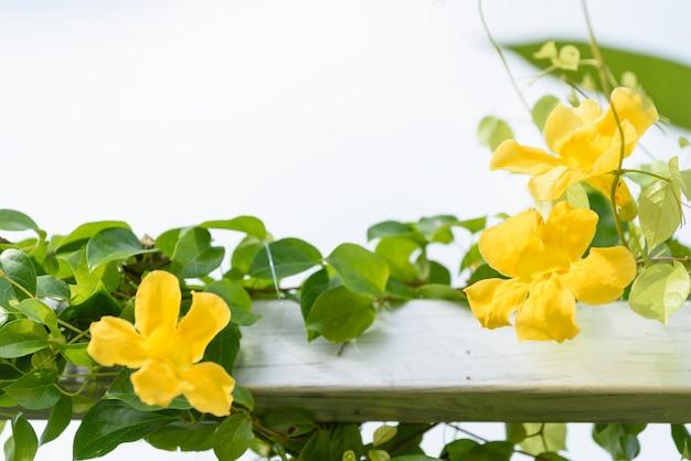 Metallzaun mit schönen gelben blumen gegen sommerblauen himmel, katzenklaue, katzenklauenrebe, katzenklauen-kriechpflanzen