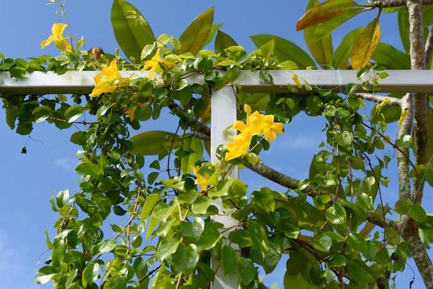 Metallzaun mit schönen gelben blumen gegen sommerblauen himmel, katzenklaue, katzenkrallenrebe, katzenklauen-kriechpflanzen