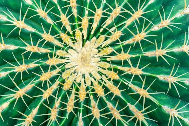 Mexikanische kakteen ferocactus glaucescens.