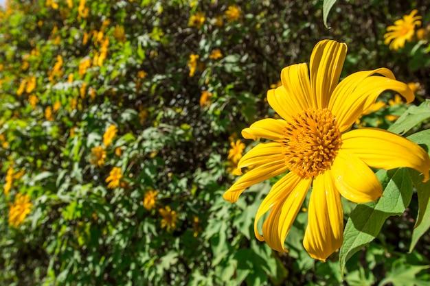 Mexikanische sonnenblume auf wiese