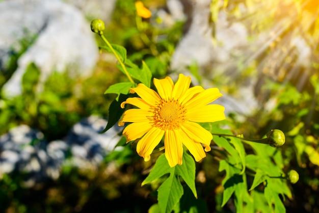 Mexikanische sonnenblume mit hintergrund des blauen himmels.