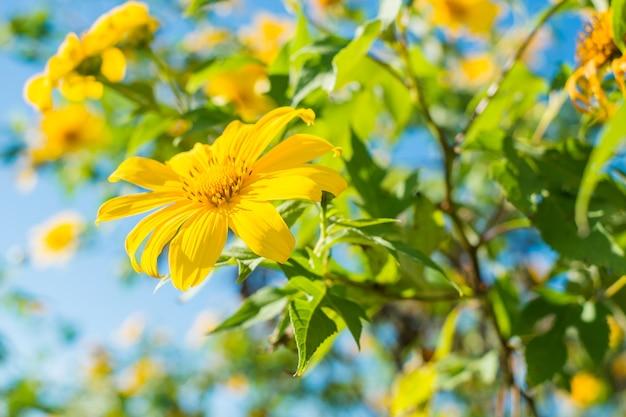 Mexikanische sonnenblume oder dok buatong-blüte in maehongson, thailand