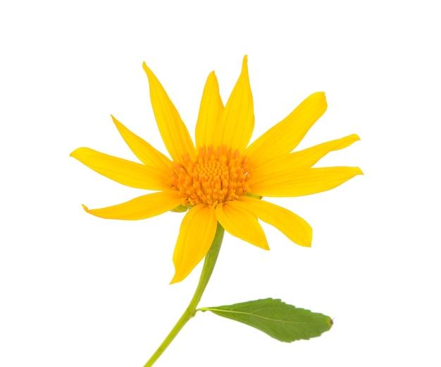 Mexikanische sonnenblume, tithonia diversifolia (hemsl) isoliert auf weißem hintergrund