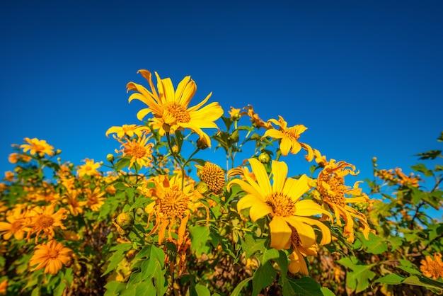 Mexikanische sonnenblume (tung bua tong blume) auf blauem himmel zur tageszeit in der provinz mae hong son, thailand.