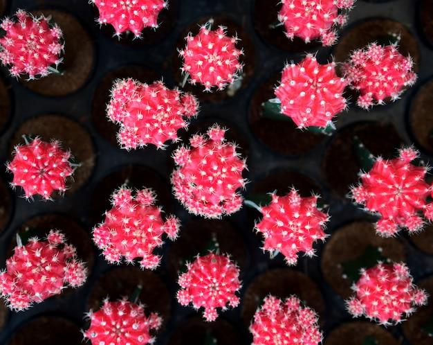 Mexikanischer bunter rosa kaktus kakteenwüstenpflanze natürlicher topfbotanikgarten