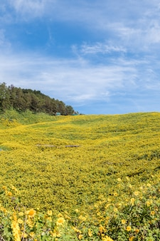Mexikanisches sonnenblumenfeld