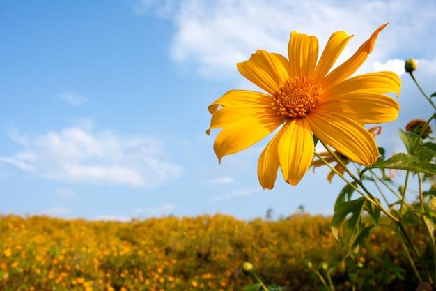 Mexikanisches sonnenblumenkraut und blauer himmelhintergrund.