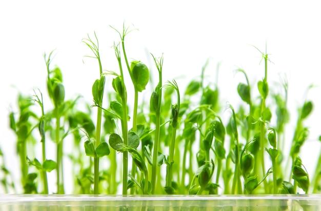 Microgreen erbsensprossen isolieren auf einem weißen hintergrund.