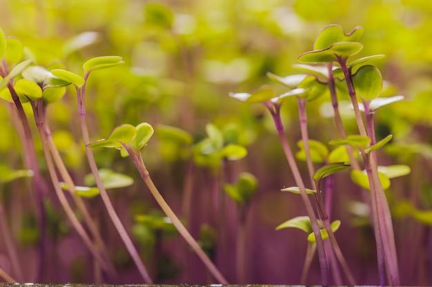 Microgreen feldgruppe der grünen und lila sprossen, die aus bodenbabygemüse im sonnenschein herauswachsen