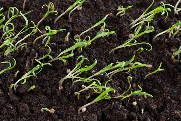 Microgreen. gruppe von grünen sprossen, die aus dem boden herauswachsen