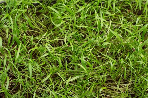 Microgreen. junge grüne sprossen. samenschale auf gekeimtem spross.
