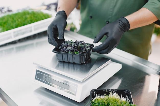 Microgreen korund koriander sprießt in männlichen händen. rohe sprossen, microgreens, gesundes ernährungskonzept. mann packt in kisten.