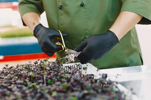 Microgreen korund koriander sprießt in männlichen händen. rohe sprossen, microgreens, gesundes ernährungskonzept. mann schneidet mit einer schere.