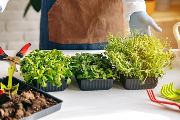 Microgreen sprießt gesunde lebensmittel, die zum verkauf wachsen
