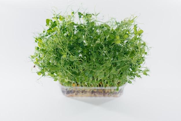 Mikro-grüne erbsensprossen nahaufnahme auf weißem hintergrund in einem topf mit erde. gesundes essen und lebensstil.