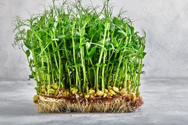 Mikrogrün, erbsen. eine schicht von microgreens auf einem hellen hintergrund