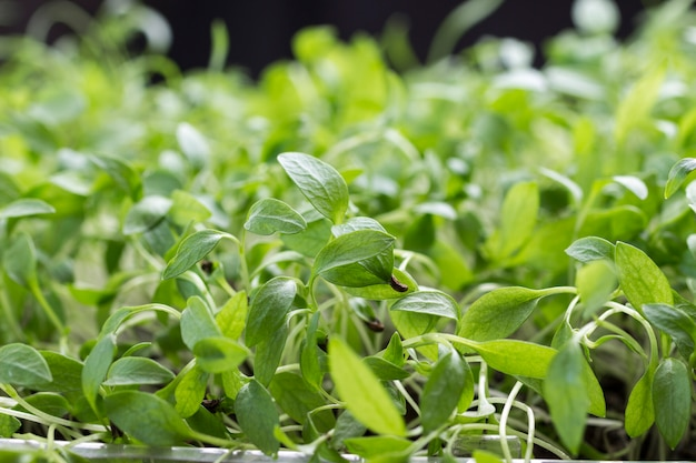 Mikrogrüne sprossen der jungen petersilie schließen nah. natürliches essen.