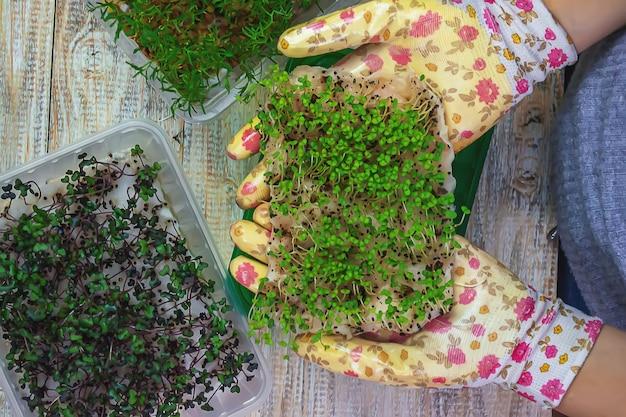 Mikrogrüne sprossen in den händen