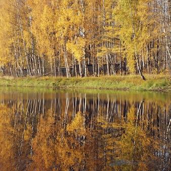 Milder herbst. birke mit gelben blättern reflektierte sich im fluss.