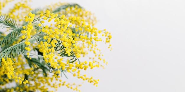 Mimosenblütenhintergrund mit runden flauschigen gelben kugeln natürliche frühlingsblumen minimale blumenzusammensetzung