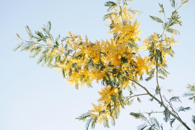 Mimosenzweig mit gelben blumen