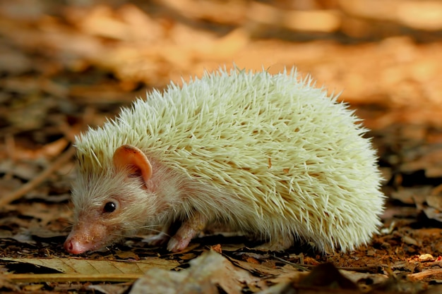 Mini-albino-igel auf der suche nach etwas zu essen