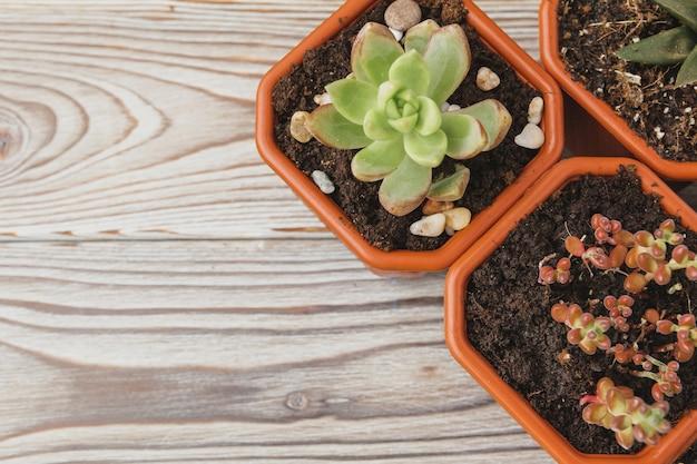 Mini grüne saftige zimmerpflanzen in braunen plastiktöpfen