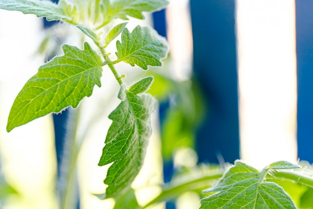 Mini-kirschtomatenpflanzen, die im blumentopf in einem balkongarten wachsen