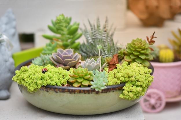 Miniatur-sukkulenten-pflanze schöne mix-sammlung gesetzt sukkulenten in topf kaktus farm