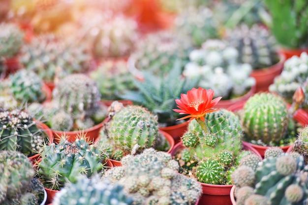 Miniaturkaktustopf verzieren im gartenbauernhof - verschiedene arten schöner kaktusmarkt oder kaktusblumenrot