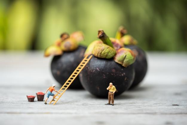 Miniaturleute, bauer, der auf der leiter klettert, um mangostan von großer mangostan zu sammeln.